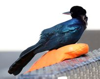 Boat-tailed grackle passerine bird beach avian of south florida Miami. Flying Royalty Free Stock Photos