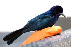 Boat-tailed grackle passerine bird beach avian of south florida Miami. Flying Stock Image