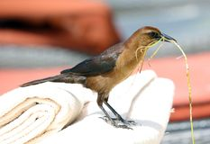 Boat-tailed grackle passerine bird beach avian of south florida Miami. Flying Stock Photography