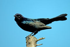 Boat-tailed Grackle. Perched on a tree branch Royalty Free Stock Image