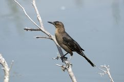 Boat Tailed Grackle, Pickney Island Wildlife Refuge, South Carolina. Female Boat-tailed Grackle perched on a stick over water. Pickney Island National Wildlife stock images