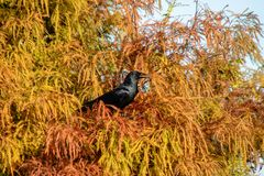 Boat tailed grackle royalty free stock image