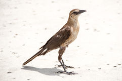 Boat-Tailed Grackle. A boat-tailed grackle in profile, standing on concrete in the sun Royalty Free Stock Photos