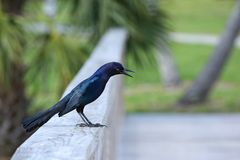 Boat tailed grackle. Profile view of a boat tailed grackle with mouth open and four-toed anisodactyl feet hanging off the wooden rail Stock Photo