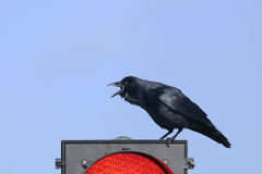 Boat-tailed grackle,  quiscalus major Stock Photos