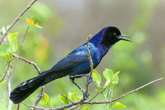Boat-tailed grackle,  quiscalus major Royalty Free Stock Photo