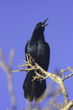 Boat-tailed grackle (Quiscalus major) Stock Photography