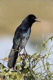 Boat-tailed Grackle (Quiscalus major) Stock Photo