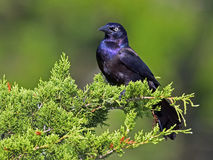 Boat-tailed Grackle in Tree Stock Photography