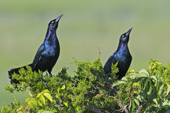Boat-tailed Grackles Royalty Free Stock Images