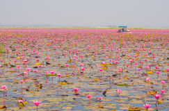 Boat Tour In Large Lake Of Blooming Pink Lotus Or Water Lily, Th Stock Image