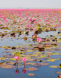 Boat Tour in Large Lake of Blooming Pink Lotus or Water Lily, Th royalty free stock photography