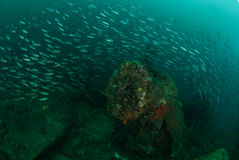 Boat wreck, schooling fishes in Ambon, Maluku, Indonesia underwater photo Stock Photo