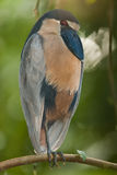 Boatbilled Heron Royalty Free Stock Image