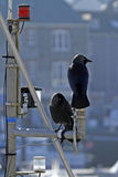 Boating Jackdaws. Royalty Free Stock Photo
