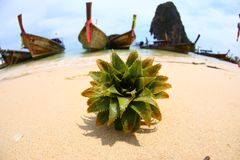Spiny green plant on the sand against the background of boat stations in Thailand on the beach royalty free stock image