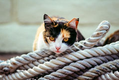 Boatyard cat resting on coiled ropes. A black, white and orange cat rest atop a coil of rope stock photography