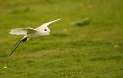 Bob The Barn Owl I Stock Photos