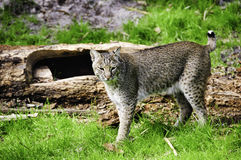 Bob Cat. A bob cat standing on green grass Royalty Free Stock Photography