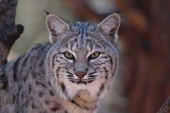 Bob Cats Head shot. Looking at camera Royalty Free Stock Photography