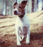 Bob en las maderas Fotografía de archivo libre de regalías