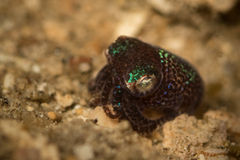Bob Tail Squid Arkivbild