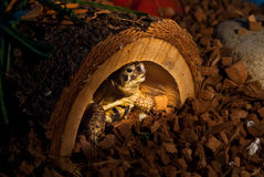 Bob the Tortoise. Is shy, that's why he's hiding in his house Royalty Free Stock Photo