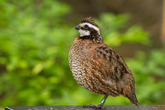 A Bob White Quail perched closeup side view Stock Image