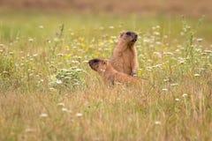 Bobak del Marmota di una coppia di marmotte della steppa dalla provincia Poltava Oblast in Ucraina fotografie stock