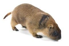 Bobak do Marmota Fotografia de Stock