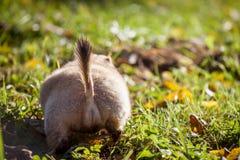 Bobak- eller stäppmurmeldjuret i höst parkerar arkivfoton