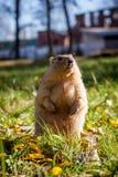 Bobak- eller stäppmurmeldjuret i höst parkerar fotografering för bildbyråer