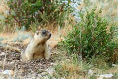 Steppe marmot Marmota bobak. The bobak marmot, also known as the steppe marmot, is a species of marmot that inhabits the steppes of Eastern Europe and Central Royalty Free Stock Photography