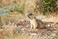 Steppe marmot Marmota bobak. The bobak marmot, also known as the steppe marmot, is a species of marmot that inhabits the steppes of Eastern Europe and Central Royalty Free Stock Image