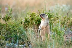 Steppe marmot Marmota bobak. The bobak marmot, also known as the steppe marmot, is a species of marmot that inhabits the steppes of Eastern Europe and Central Royalty Free Stock Photos