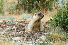 Steppe marmot Marmota bobak. The bobak marmot, also known as the steppe marmot, is a species of marmot that inhabits the steppes of Eastern Europe and Central Stock Image