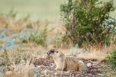Steppe marmot Marmota bobak. The bobak marmot, also known as the steppe marmot, is a species of marmot that inhabits the steppes of Eastern Europe and Central Stock Photography