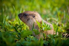 The bobak marmot cub on grass. Marmota bobak, or steppe marmot Royalty Free Stock Photography