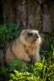 The bobak marmot cub on grass. Marmota bobak, or steppe marmot Stock Photography