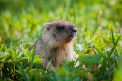 The bobak marmot cub on grass. Marmota bobak, or steppe marmot Royalty Free Stock Image