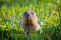 The bobak marmot cub on grass. Marmota bobak, or steppe marmot Stock Image