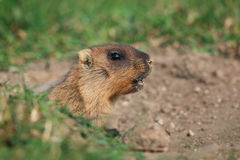 Bobak Marmot Stock Photos