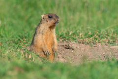 Bobak Marmot Stock Photography