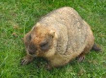 Bobak marmot Marmota bobak. Also known as steppe marmot royalty free stock images