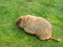 Bobak marmot Marmota bobak. Also known as steppe marmot stock image