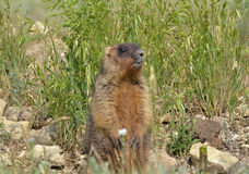 Bobak marmot Royalty Free Stock Photo