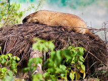 Bobak marmot outdoors Royalty Free Stock Image