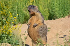 Bobak marmot Royalty Free Stock Images