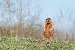 Bobak marmot standing on hind legs. At sunnt day Stock Image
