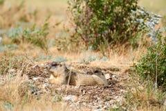 Bobak Marmota сурока степи стоковая фотография rf